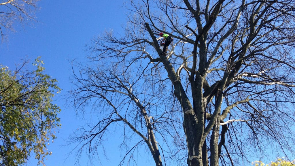 Maple Wood Tree ~ No fear of heights maplewood tree caremaplewood care