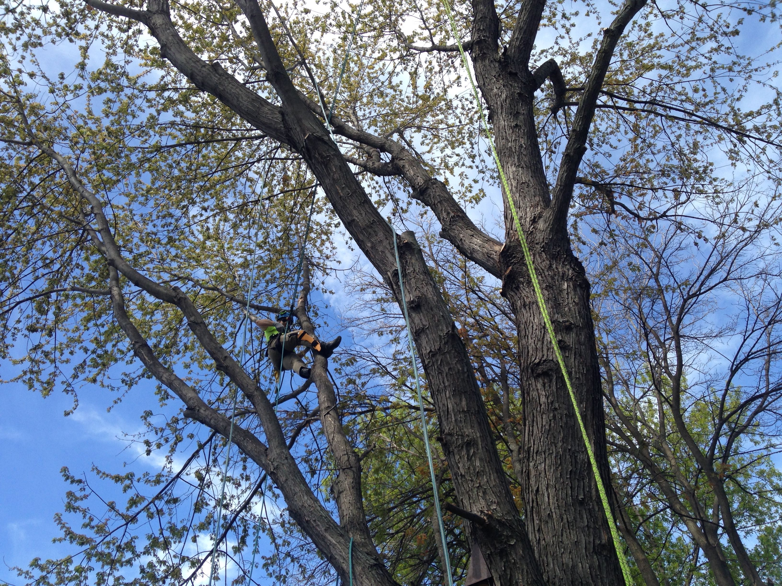 Maple Wood Tree ~ Tree trimming and pruning maplewood caremaplewood